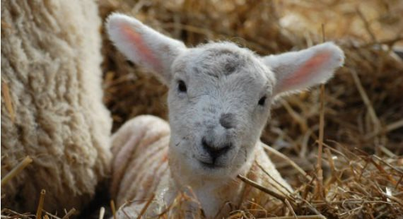 Reaseheath Lambing