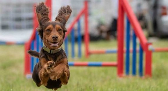 Small brown dog jumping in the air